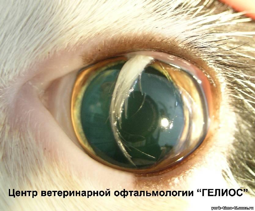 Шицу собака  глаза выпадают