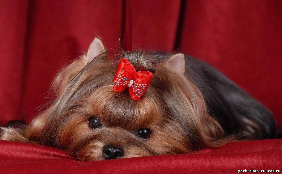 Собака которой делают прически